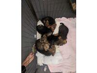 Yorkshire pups