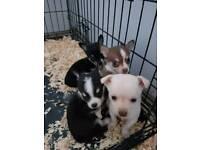 Pom/chi Puppies