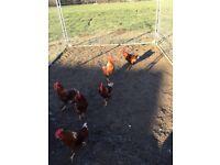 Cockerels for sale