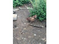 Variety of Laying chickens/hens