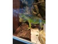 Iguana and full set up