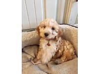 Cavapoo girl pup