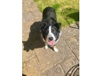 Beautiful Border Collie free to new home due to relocation