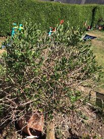 2 x olive trees