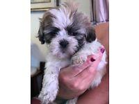 Zuchon Puppy ready fri 6th July .