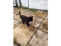 Black 8 week old kitten