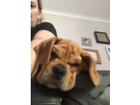 Boy Puggle puppy 4 months old, all vaccinations flea worming up to date