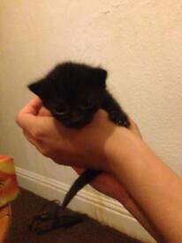 Cute full black kitten
