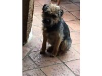 Boarder Terrier lost. Newton Green/Waldingfield 3.00pm 25th June