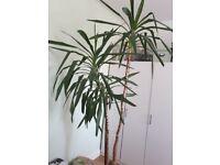 Very large yucca tree