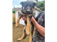 Beautiful German shepherd pups