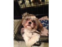 Shih tzu for sale 7months old male job forces sale