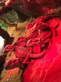 Baby bearded dragons HEALTHY 1=£40 pair 2=70