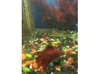 Betta tropical fish