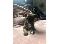 Female puppy shih tzu cross chihuahua