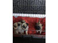 Bichon cross chihuahua pups
