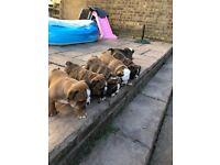 British Bulldog Puppies 🐶