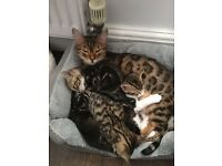 Beautiful Bengal Cross Kittens