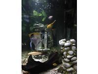 Pair angel fish for breeding