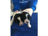 Springer spaniel pups/puppies/puppy's /dogs