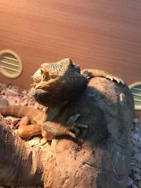 2 year old bearded dragon and viv for sale