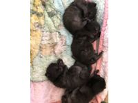 4 cute black kittens
