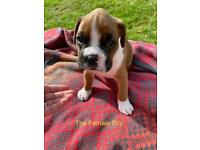 Adorable Female Boxer Puppy For Sale