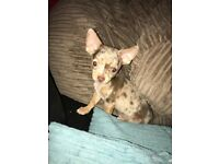 5 month old chihuahua for sale