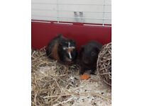 X2 female guinea-pigs for sale AND cage