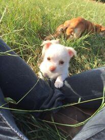 jackawowa puppies. Two girls and one boy.