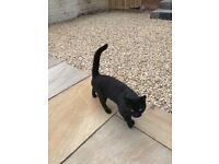 BLACK CAT FOUND IN CATHCART, LOOKING FOR HOME
