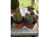 Large cactus plants