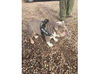 KC registered Stud Lilac Tri British Bulldog For sale
