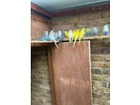 Budgies and lovebirds with cage