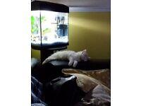 Gorgeous persian x kitten for sale