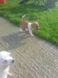 1 small terrier girl left