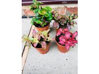 Fittonia Plants