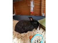 Female Rabbit + hutch