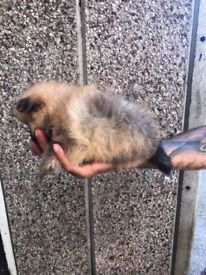 5 Pomeranian puppies for sale £700 1 girl 4 boys