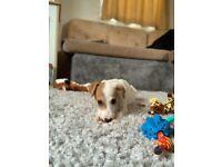 beautiful lurcher puppy