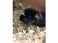 2 Lovely male guinea pigs, with indoor hutch, outdoor hutch, run etc