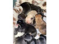 5 beautiful pedigree frenchies