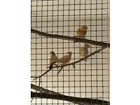 Fawn Java Sparrows/Diamond doves for sale