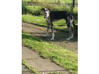 Lurcher for sale. Collie, sulki, deerhound, greyhound x.