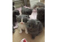 BRITISH BLUE X RAGDOLL KITTENS
