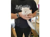 chinchillas for sale due to expanding family