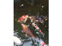 Koi pond closing hand feeding japanese koi