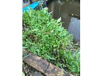 Free pond plants