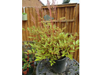 Large Astilbe plants in pots