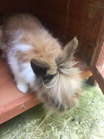 Lionhead rabbit, cage & all accessorises and food